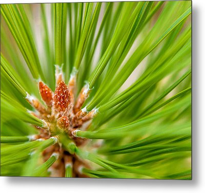Evergreen 001 Metal Print