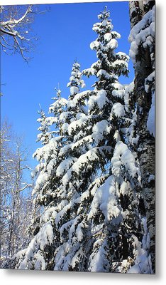 Evergreen Trees In Winter Metal Print by Jim Sauchyn