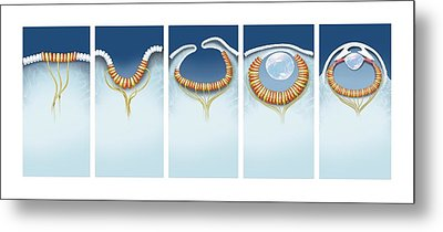 Evolution Of The Eye, Artwork Metal Print by Science Photo Library