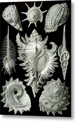 Assorted Sea Shells Metal Print by Ernst Haeckel