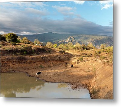 Extensive Cow Farming With Water Hole Metal Print