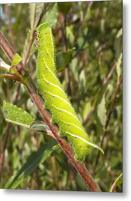 Eyed Hawk-moth Caterpillar Metal Print by Power And Syred