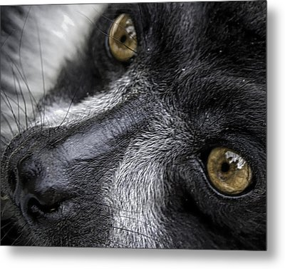 Metal Print featuring the photograph Eyes Of The Lemur by Chris Boulton