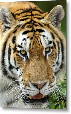Metal Print featuring the photograph Eyes Of The Tiger by John Haldane