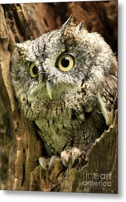 Eyes Of Wisdom Eastern Screech Owl In Hollow Tree Metal Print by Inspired Nature Photography Fine Art Photography