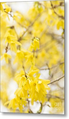 Fabulous Forsythia Metal Print