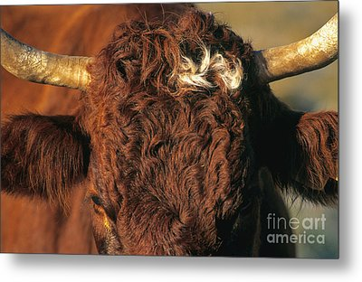 Face Of A Cow Salers. Auvergne . France Metal Print by Bernard Jaubert