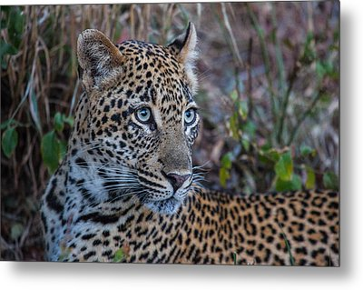 Face Of A Leapord Metal Print by Craig Brown