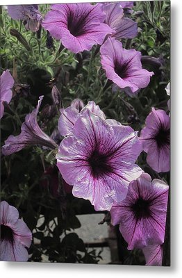 Faces Of Petunias Metal Print by Guy Ricketts