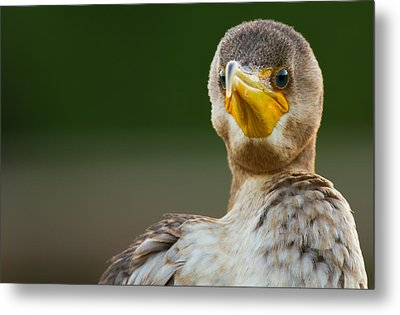 Facing The Great Cormorant Metal Print by Andres Leon