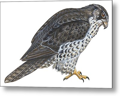 Falcon Metal Print by Anonymous