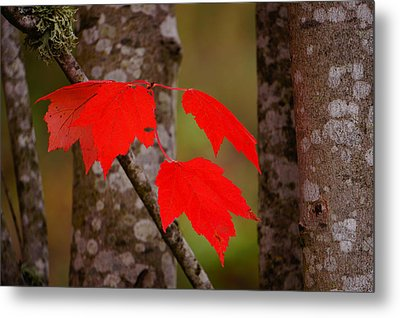 Fall Aflame Metal Print by Ronda Broatch