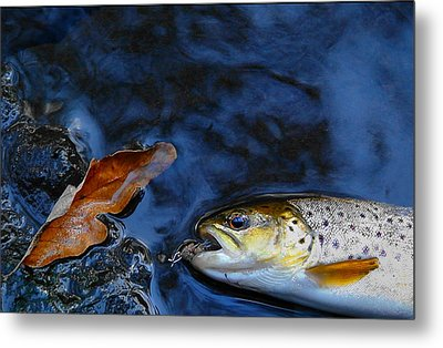 Fall Brown Trout Metal Print by Thomas Young