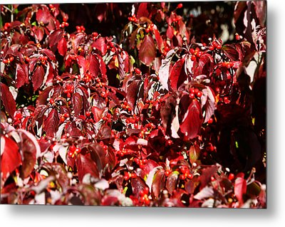 Metal Print featuring the photograph Fall Foliage Colors 08 by Metro DC Photography