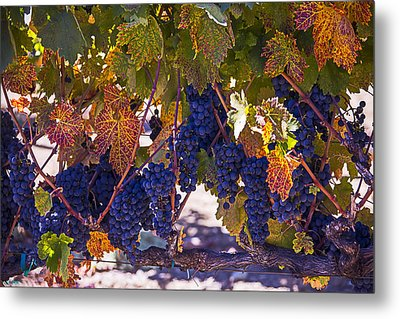 Fall Grape Harvest Metal Print