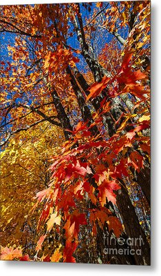 Fall Maple Forest Metal Print by Elena Elisseeva