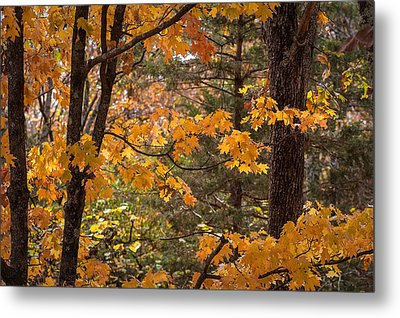 Fall Maples - 01 Metal Print by Wayne Meyer