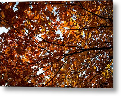 Metal Print featuring the photograph Fall Maples - 02 by Wayne Meyer