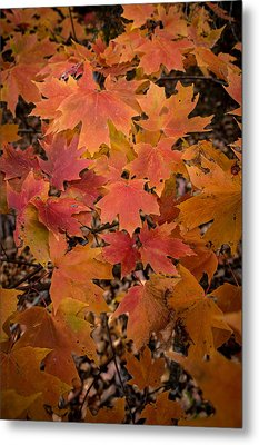 Metal Print featuring the photograph Fall Maples - 03 by Wayne Meyer
