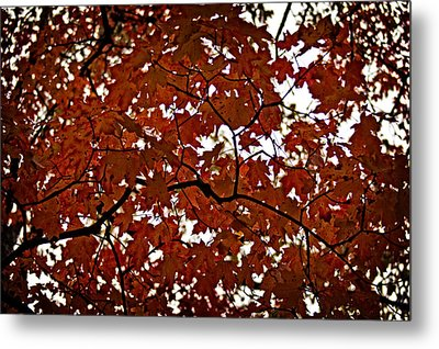 Metal Print featuring the photograph Fall Maples - 04 by Wayne Meyer