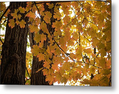 Metal Print featuring the photograph Fall Maples - 06 by Wayne Meyer