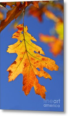 Fall Oak Leaf Metal Print by Elena Elisseeva
