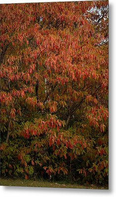 Metal Print featuring the photograph Fall Sassafras Trees by Wayne Meyer