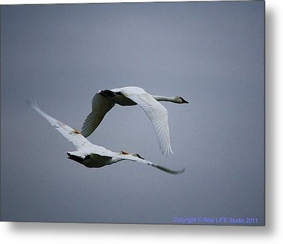 Fall Swans Metal Print by Al Fritz
