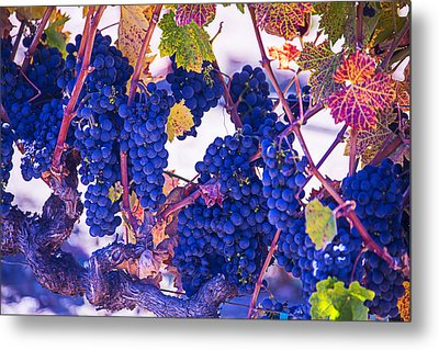 Fall Wine Grapes Metal Print by Garry Gay