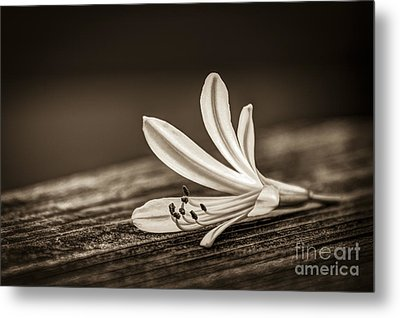 Fallen Beauty- Sepia Metal Print