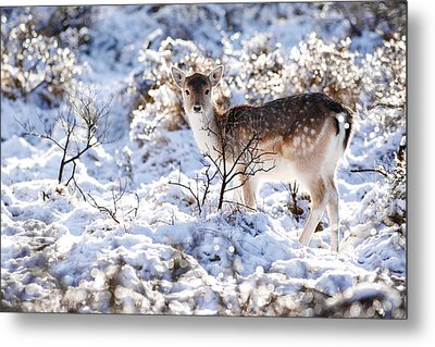 Fallow Deer In Winter Wonderland Metal Print