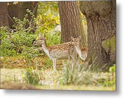 Fallow Deer Woodland Scene Metal Print by Paul Scoullar