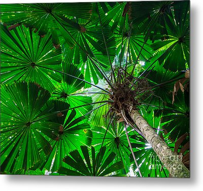 Fan Palm Tree Of The Rainforest Metal Print
