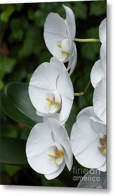 Fancy Orchid Metal Print