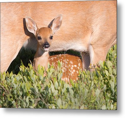 Fawn And Mom Metal Print