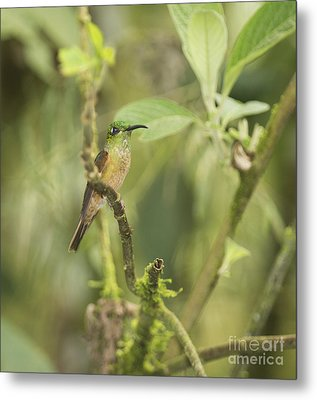Metal Print featuring the photograph Fawn-breasted Brilliant Hummingbird by Dan Suzio