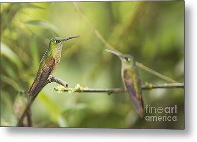 Metal Print featuring the photograph Fawn-breasted Brilliant Hummingbirds by Dan Suzio