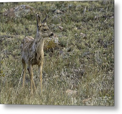 Fawn Metal Print by Tom Wilbert