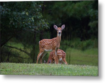Fawns Metal Print by Greg Vizzi