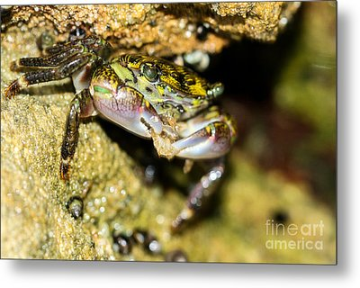 Feasting Crab Metal Print by Michelle Burkhardt