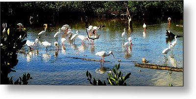 Feathered Coastal Society Metal Print by Will Boutin Photos