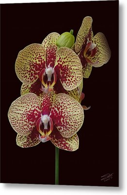 February's Orchid Metal Print by IM Spadecaller