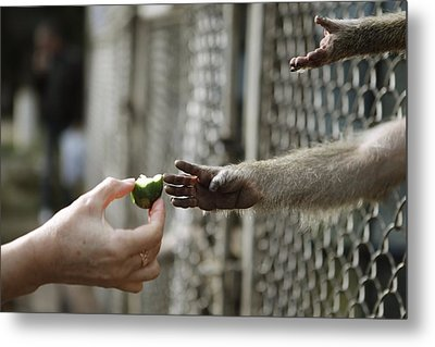 Feeding A Captive Monkey Metal Print by Science Photo Library