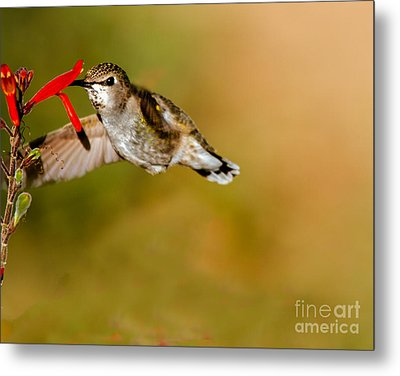 Feeding Anna's Hummingbird Metal Print by Robert Bales