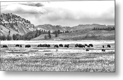 Feeding Bison And Scenic View  Metal Print