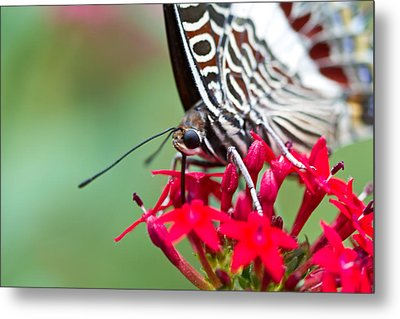 Metal Print featuring the photograph Feeding Butterfly by John Hoey