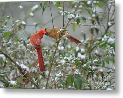 Feeding Cardinals Metal Print by Geraldine DeBoer