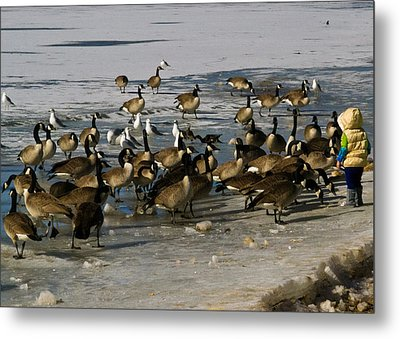 Feeding The Geese Metal Print by Matt Radcliffe