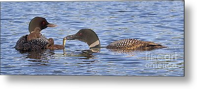 Feeding Time For Loon Chicks Metal Print by Jim Block