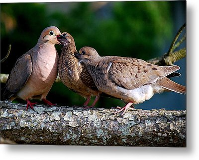 Feeding Twin Mourning Doves Metal Print by Mary Beth Landis